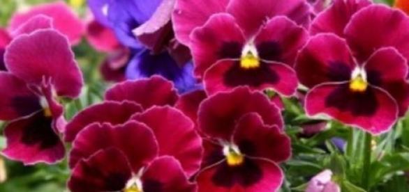 Panselute, flori de primavara