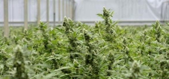 canabis, narcotice, droguri, procurorii DIICOT