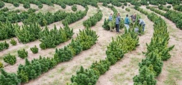 Plantação de marijuana na empresa.