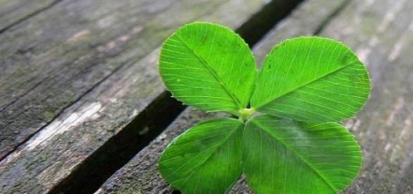 Trevo de quatro folhas traz sorte segundo crenças