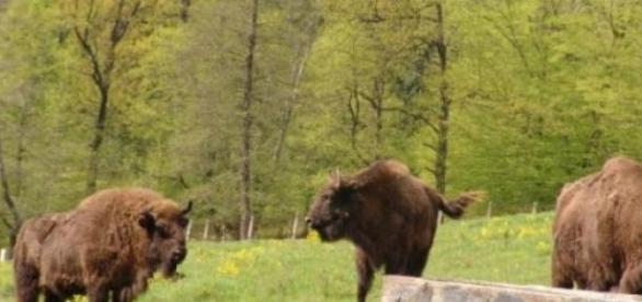 Zimbrii din Neamt -reinvata libertatea