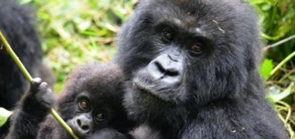 Gorilas-das-montanhas estão próximos da extinção