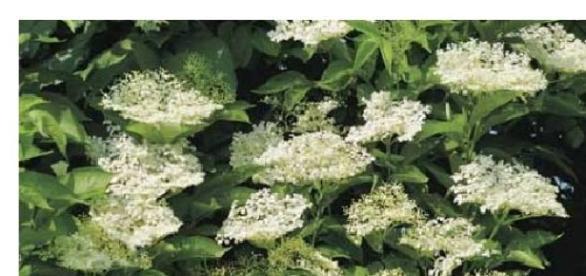 Florile de soc si efectele terapeutice miraculoase