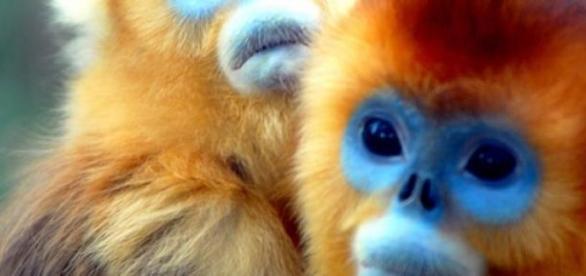 A fost decoperita o noua specie de maimute
