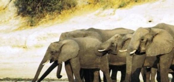 Elefantes serão vendidos pelo Zimbábue