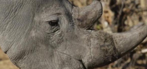 Rinoceronte escapa de reserva e mata uma mulher