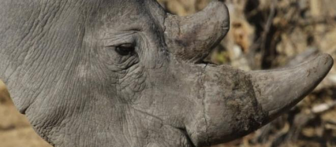 Um dos animais mais ameaçados de extinção no mundo, ele sofre com a caça e o desmatamento. Em alguns lugares como neste caso, acabam invadindo cidades por estarem já encurralados por caçadores e por estarem famintos