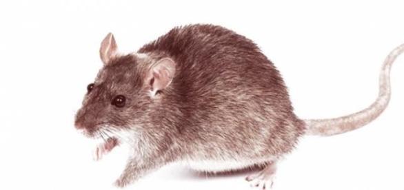 Una rata común puede inspirar terror