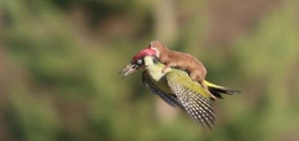 Comadreja volando sobre un pájaro carpintero