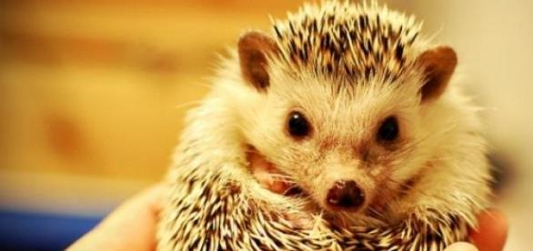 Hedgehog population is in decline