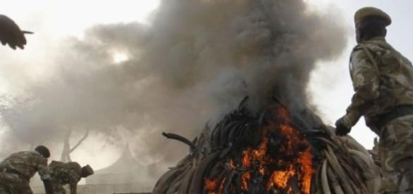 Une pyramide remplie d'ivoire est brûlée.