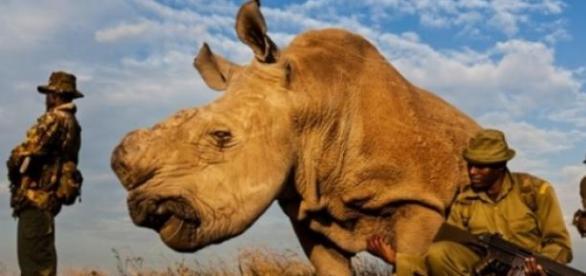 Último rinoceronte branco tem escolta 24h por dia.