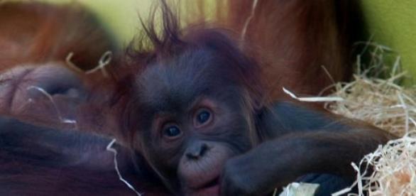 Existem apenas 6600 orangotangos em Sumatra