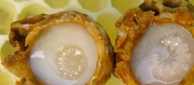 Lăptișorul de matcă miracolul albinelor