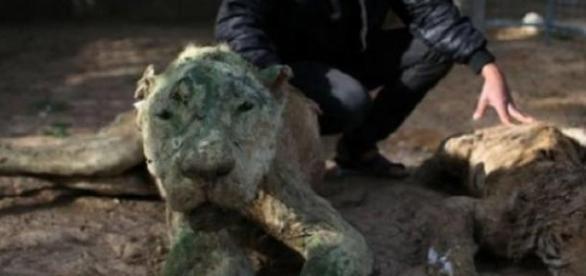 Dois leões embalsamados numa jaula