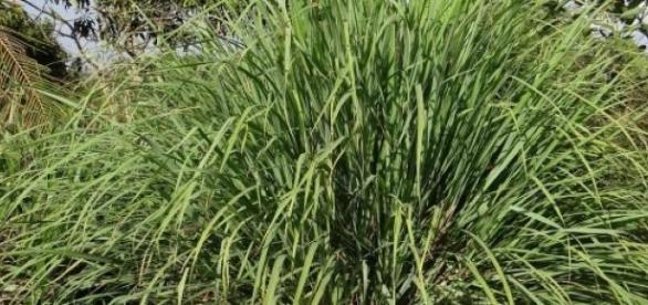 Fácil de cultivar esta erva cura muitos males