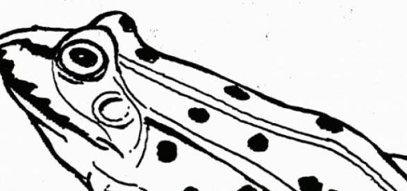 broasca, specie necunoscuta