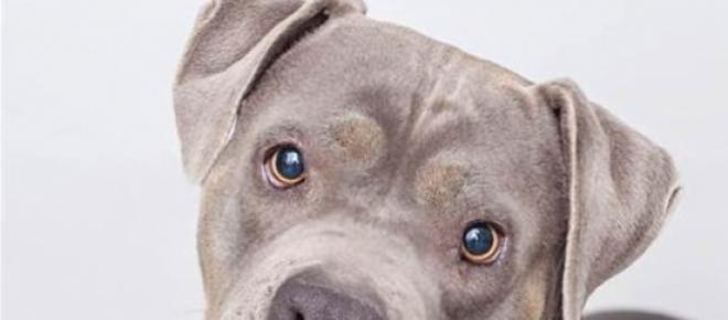 Catelusa Roxy, un Pitbull care i-a schimbat viata unui autist<br />