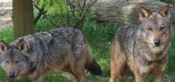 O lobo ibérico corre risco de extinção