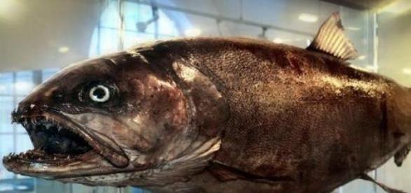 Somon de Dunare de 25 kg,Muzeul German Pescuitului