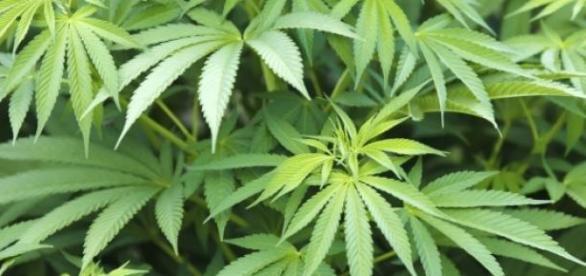 Le cannabis pourrait être légalisé au Chili.