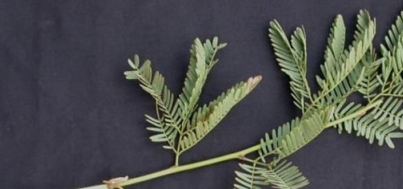 Folhas compostas de Prosopis juliflora.