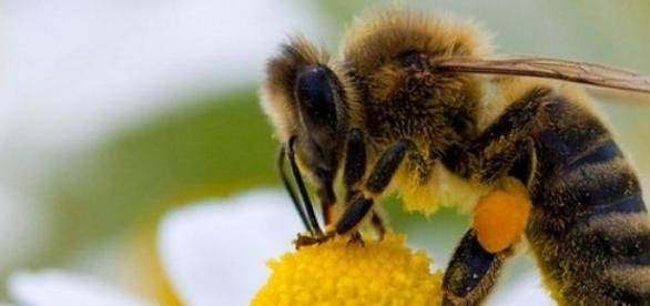 Une abeille en plein travail