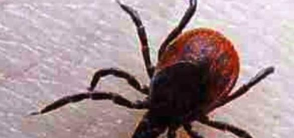 Kleszcz, pajęczak, który przenosi groźne choroby
