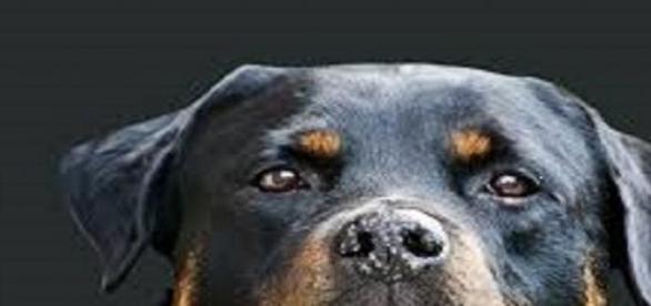 """El Rottweiler """"emblema"""" de las razas peligrosas"""
