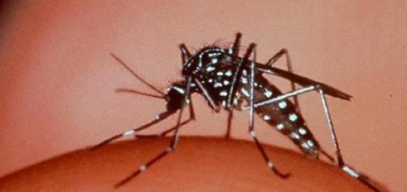 Mosquito Aedes Aegypti é o transmissor da dengue