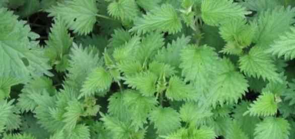 Urzica, o plantă cu multiple proprietăți curative