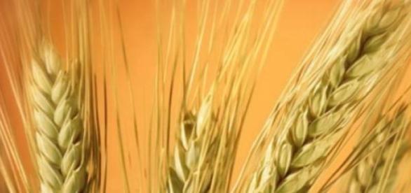 Cereales integrales: cebada