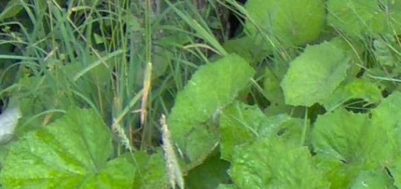 frunze de podbal de langa rau