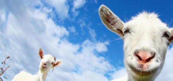 Alugue uma cabra na Amazon.