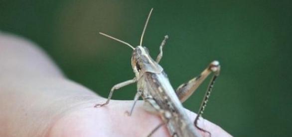 O insecto é rico em proteínas e fácil de criar