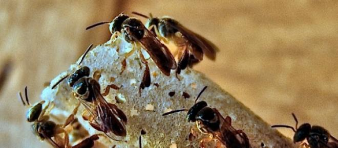 Enzima protectora contra bactérias nas colmeias
