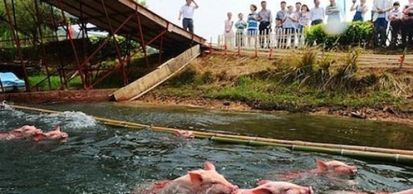 Le May Day : la compétition pour cochons en Chine.