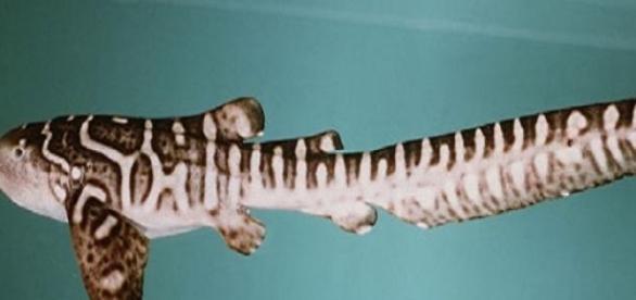 un joven tiburón cebra nada en la superficie