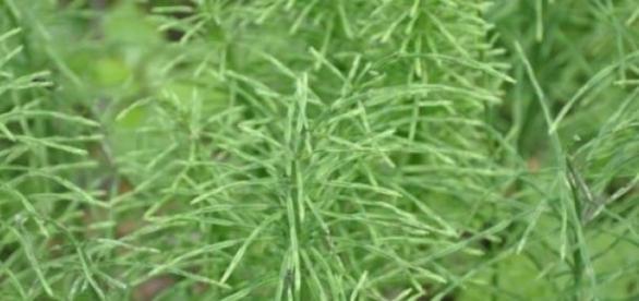 Coada-Calului, o plantă cu multiple beneficii.