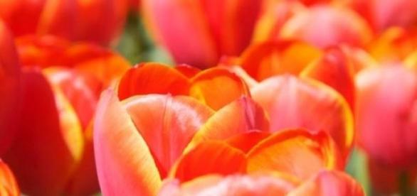 Pole z tysiącami tulipanów w Holandii