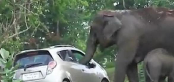 elefantul introduce trompa in masina si ia poseta