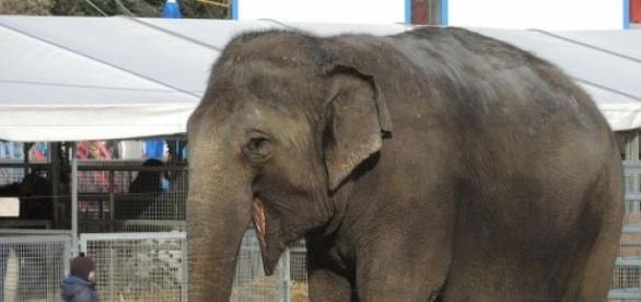 Zirkuselefant im Winterquartier des Zirkus Knie