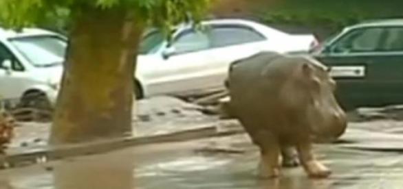 Hipopotam rătăcind pe străzile din Tibilisi