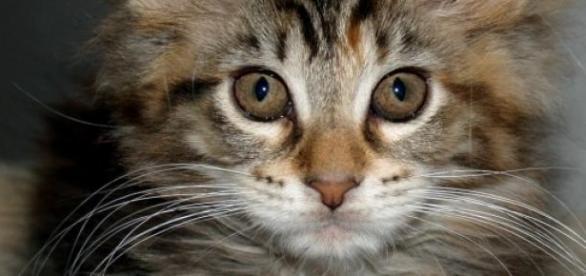 Pisică Oana Zăvoranu rasa Maine Coon