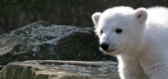 Knut am 24.03.2007 im Zoologischen Garten Berlin