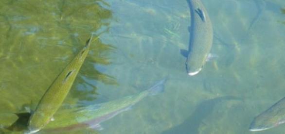 Peces de agua dulce en su hábitat