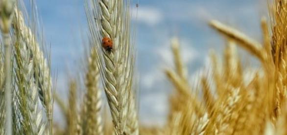 EU-Richtlinie ermöglicht Anbauverbot für GVOs