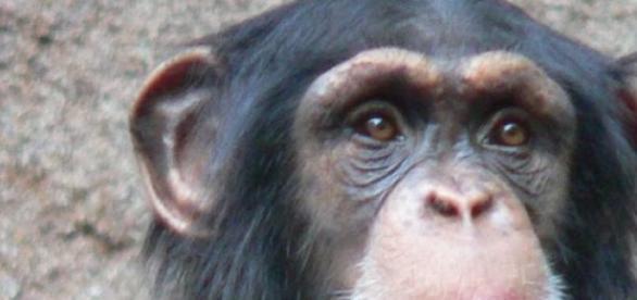 Schimpansen verteidigen aggressiv ihr Territorium