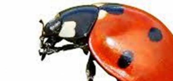 Biedronka - inwazja owadów na Europę?
