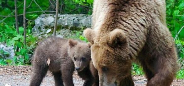 Urşii terorizează locuitorii din Băile Tuşnad